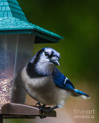 Photograph - Blue Jay Vi by Gene Berkenbile