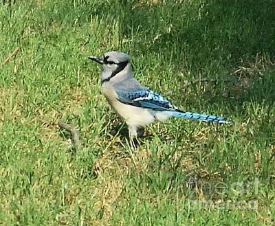 Photograph - Blue Jays by Cheryl Poland