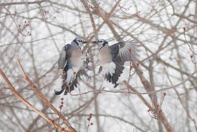 Bluebirds Photograph - Blue Jays by Kathy Schreiber-Castrataro