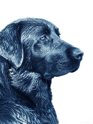 Photograph - Blue Labrador Retriever Dog  by Jennie Marie Schell
