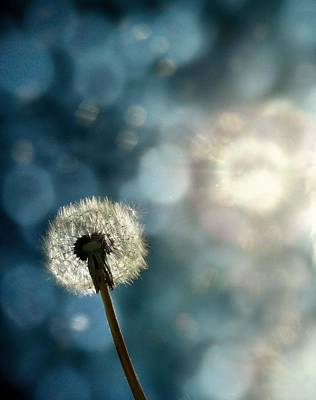 Blue Light Dandelion Art Print