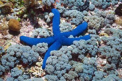 Blue Linckia Starfish Art Print by Science Photo Library