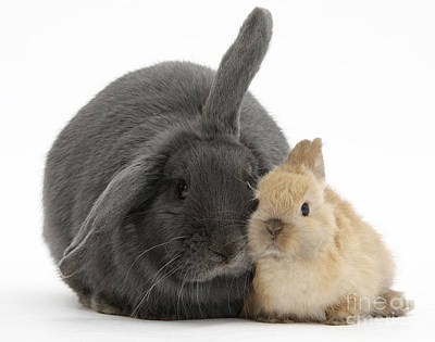 House Pet Photograph - Blue Lop Rabbit And Netherland Dwarf by Mark Taylor