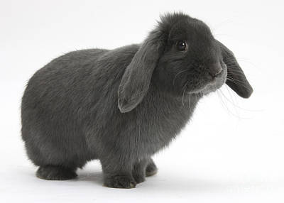 Photograph - Blue Lop Rabbit by Mark Taylor