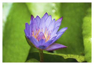 Blue Lotus Art Print