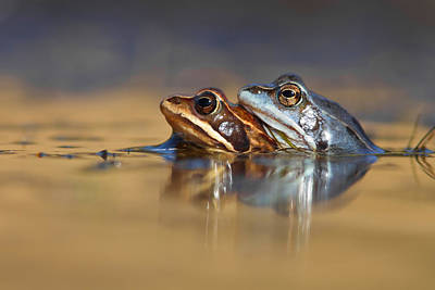 Amphibians Wall Art - Photograph - Blue Love ... Mating Moor Frogs  by Roeselien Raimond