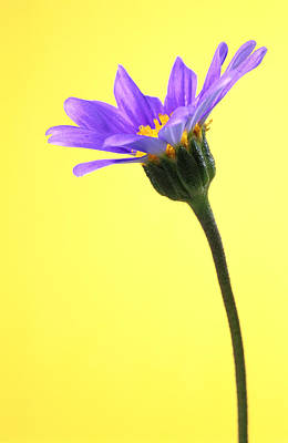 Photograph - Blue Marguerite  by Carl Perkins