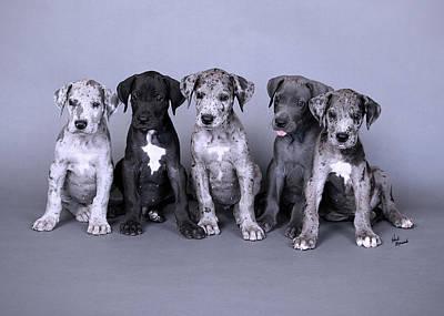 Photograph - Blue Merle Great Dane Puppies by Heidi Marcinik