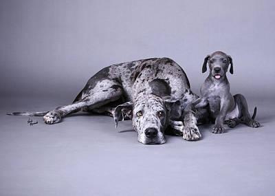 Photograph - Blue Merle Great Danes  by Heidi Marcinik