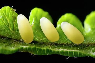 Trio Photograph - Blue Mint Beetle Eggs by Alex Hyde