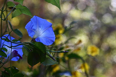 Blue Morning Glories Print by Linda Unger