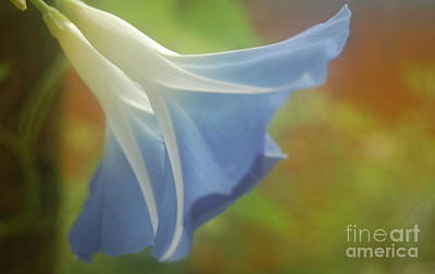 Photograph - Blue Morning Glory Mist by Tamyra Crossley