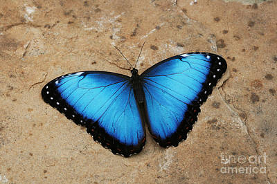 Blue Morpho #2 Art Print by Judy Whitton