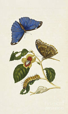Photograph - Blue Morpho And Metamorphosis by Getty Research Institute
