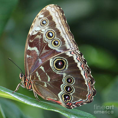 Photograph - Blue Morpho At Rest by Jackie Farnsworth