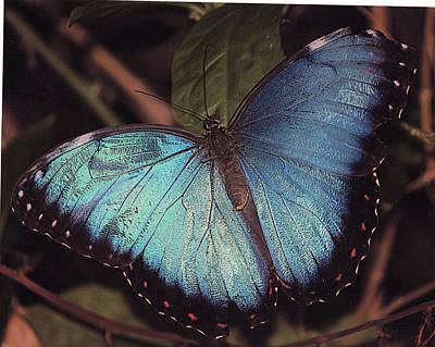 Blue Morpho Art Print by Bill Woodstock
