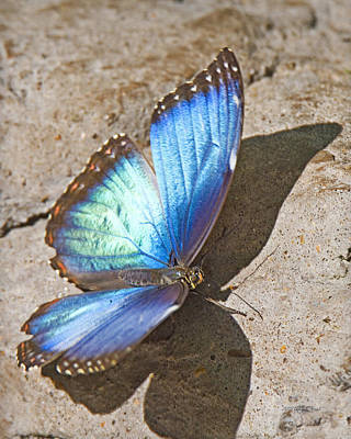 Photograph - Blue Morpho Butterfly 1 by Walter Herrit