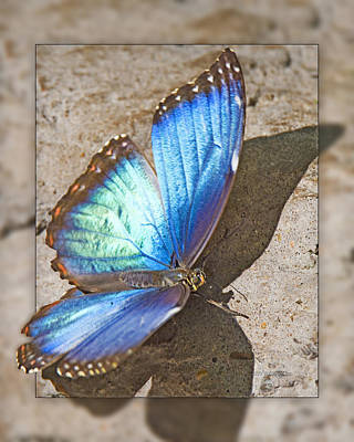 Photograph - Blue Morpho Butterfly 1b by Walter Herrit