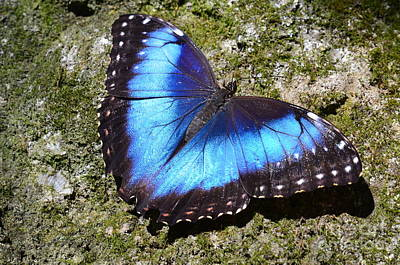 Photograph - Blue Morpho Butterfly by AnnaJo Vahle