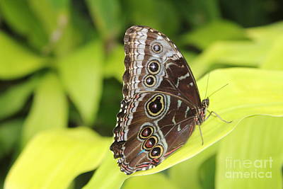 Photograph - Blue Morpho Butterfly by David Grant