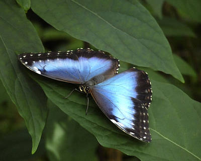 Photograph - Blue Morpho Butterfly I. by Chris  Kusik