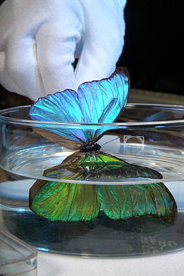 Morpho Wall Art - Photograph - Blue Morpho Butterfly Iridescence by Pascal Goetgheluck/science Photo Library