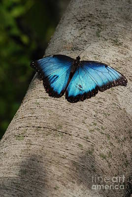 Photograph - Blue Morpho Butterfly by Mark McReynolds