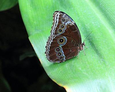 Photograph - Blue Morpho Butterfly by Angela Murdock