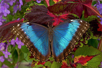 Coleus Photograph - Blue Morpho Butterfly, Morpho by Darrell Gulin