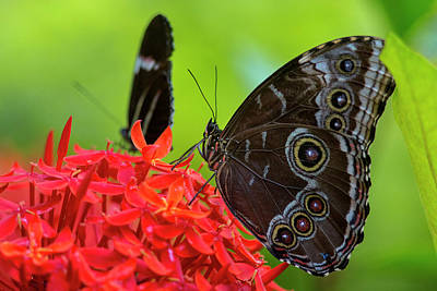 Florida Flowers Photograph - Blue Morpho Butterfly (morpho Peleides by Chuck Haney