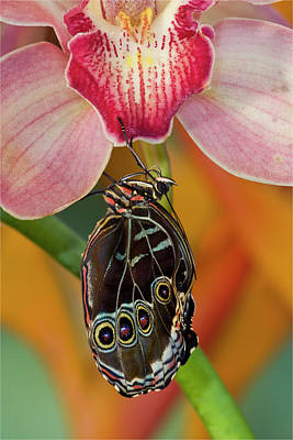 Morpho Wall Art - Photograph - Blue Morpho Butterfly On Pink Orchid by Darrell Gulin