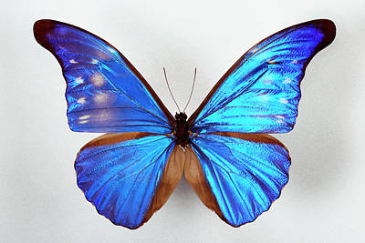 Morpho Wall Art - Photograph - Blue Morpho Butterfly by Pascal Goetgheluck/science Photo Library