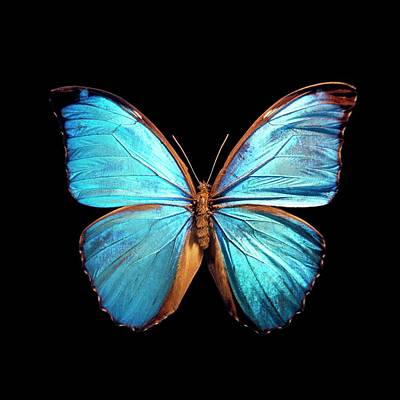 Morpho Wall Art - Photograph - Blue Morpho Butterfly by Patrick Landmann/science Photo Library