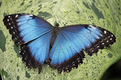 Photograph - Blue Morpho Butterfly by Richard Bryce and Family