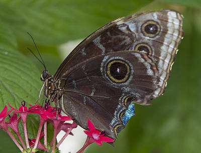 Photograph - Blue Morpho Butterfly by Sean Allen