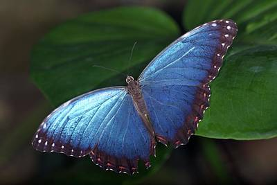 Morpho Wall Art - Photograph - Blue Morpho Butterfly by Sinclair Stammers/science Photo Library