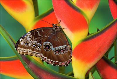 Morpho Wall Art - Photograph - Blue Morpho Butterfly Sitting by Darrell Gulin