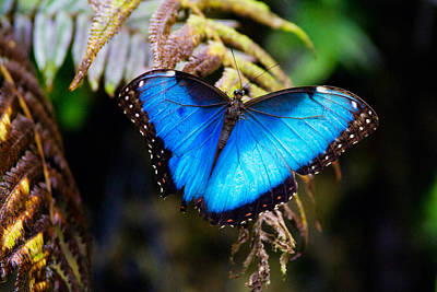 Photograph - Blue Morpho Butterfly by Vanessa Valdes