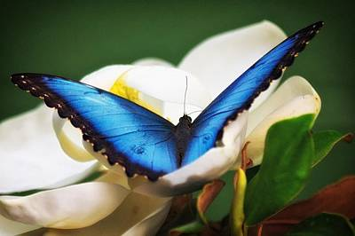 Photograph - Blue Morpho In Flower by Joe Urbz