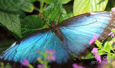 Photograph - Blue Morpho by Jackie Farnsworth