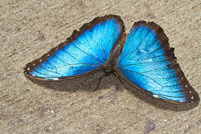 Art Print featuring the photograph Blue Morpho by John Hoey