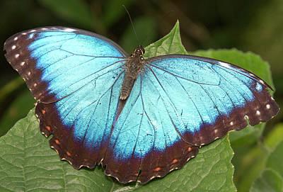 Sutton Photograph - Blue Morpho (morpho by William Sutton