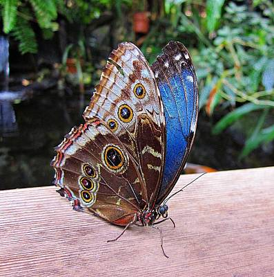 Butterfly Koi Photograph - Blue Morpho by MTBobbins Photography