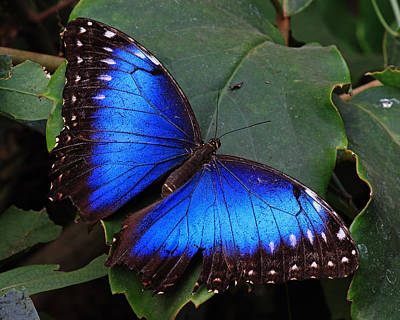 Photograph - Blue Morpho by Randy Hall