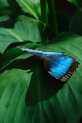 Photograph - Blue Morpho by Tam Ryan