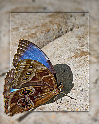 Photograph - Blue Morpho Wings Partly Open 2 by Walter Herrit