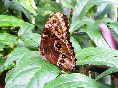 Photograph - Blue Morpho With Closed Wings by Judy Wanamaker