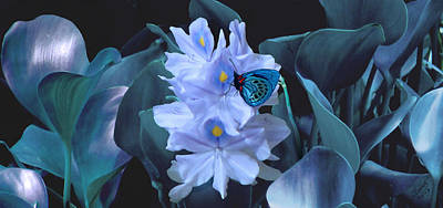 Photograph - Blue Moth And Hyacinth by IM Spadecaller