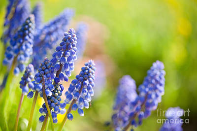 Blue Grapes Photograph - Blue Muscari Mill Flowers Close-up In The Spring  by Arletta Cwalina