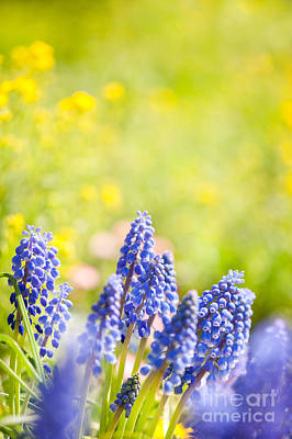 Blue Grapes Photograph - Blue Muscari Mill Bunches Of Grapes  by Arletta Cwalina
